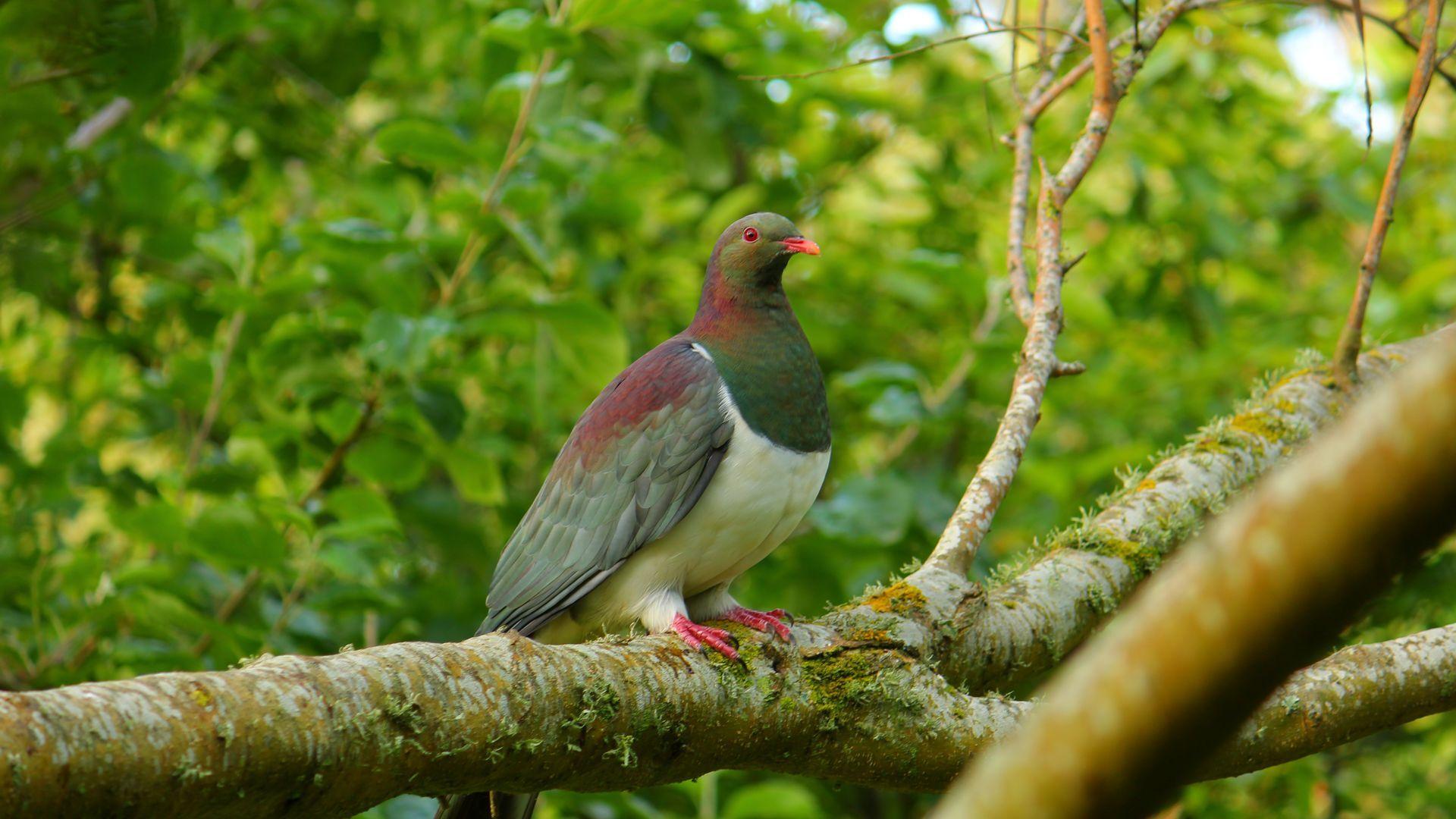 Kereru - native woodpigeon